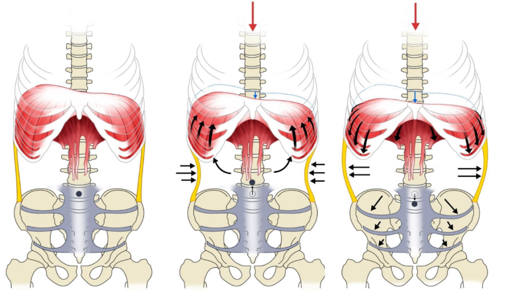 Stabilization function of the diaphragm and abdominal and pelvic muscles